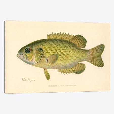Rock Bass Canvas Print #PCA244} by Print Collection Canvas Wall Art