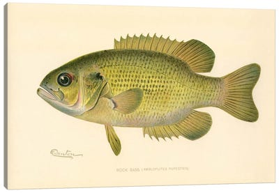 Rock Bass Canvas Art Print