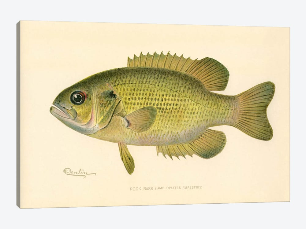 Rock Bass 1-piece Canvas Artwork