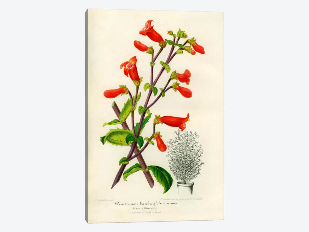 Rock penstemon, Cut-Leaf Penstemon by Print Collection 1-piece Canvas Print