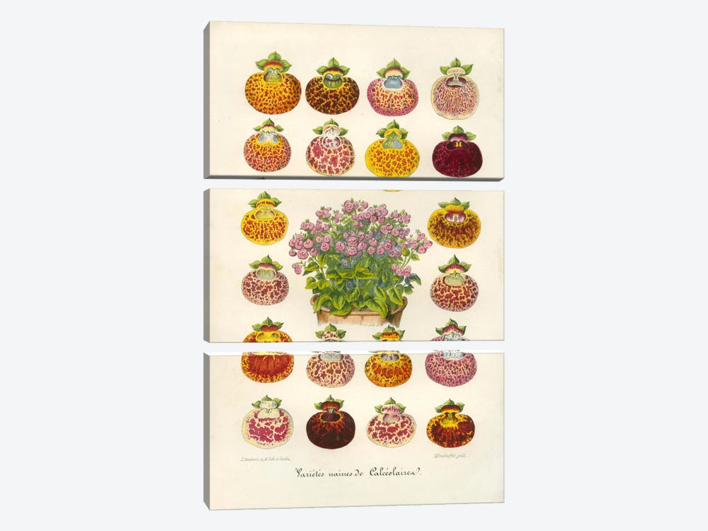Slipper Flower Varieties by Print Collection 3-piece Art Print