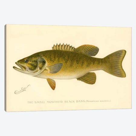 Small Mouthed Black Bass Canvas Print #PCA253} by Print Collection Canvas Artwork
