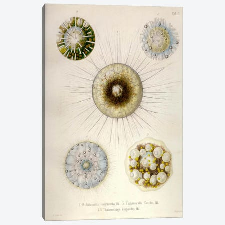 Thalassicollida Canvas Print #PCA261} by Print Collection Canvas Print