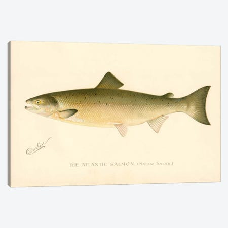 The Atlantic Salmon Canvas Print #PCA262} by Print Collection Canvas Art Print