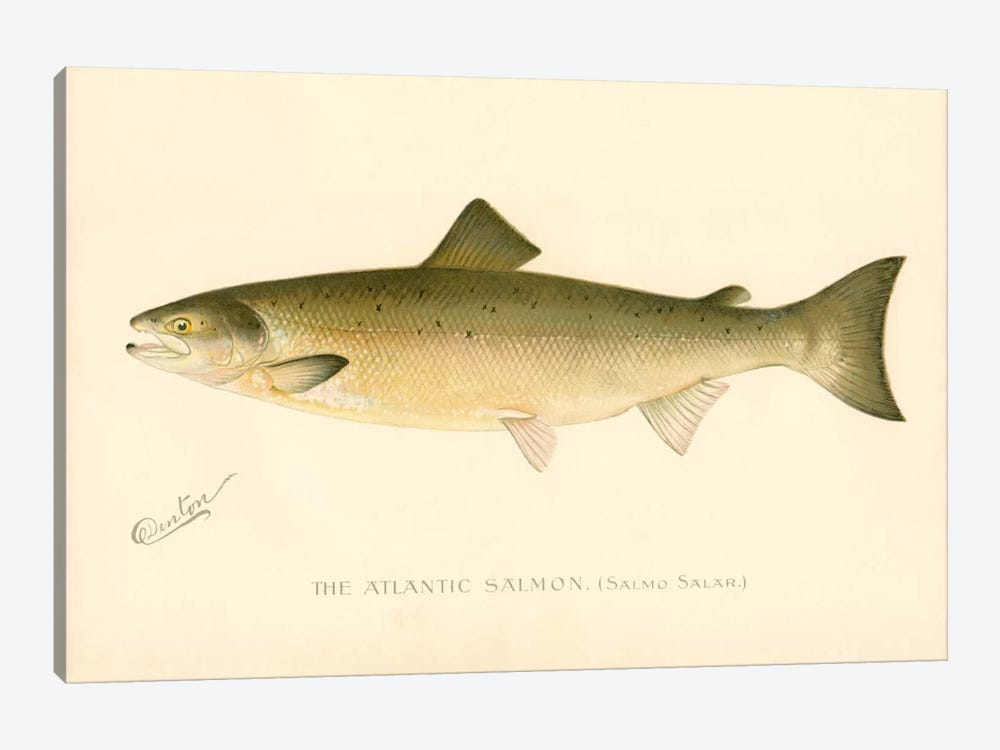 The Atlantic Salmon by Print Collection 1-piece Canvas Art