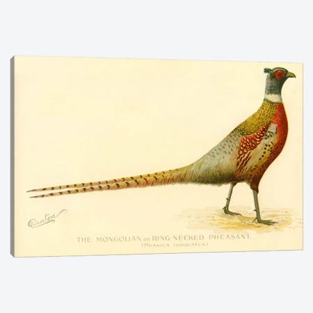 The Mongolian or Ring-Necked Pheasant Canvas Print #PCA266} by Print Collection Canvas Artwork