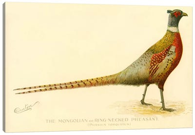 The Mongolian or Ring-Necked Pheasant Canvas Art Print