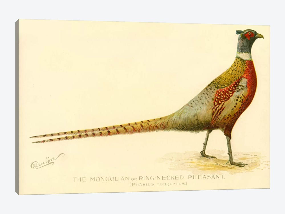 The Mongolian or Ring-Necked Pheasant by Print Collection 1-piece Canvas Artwork