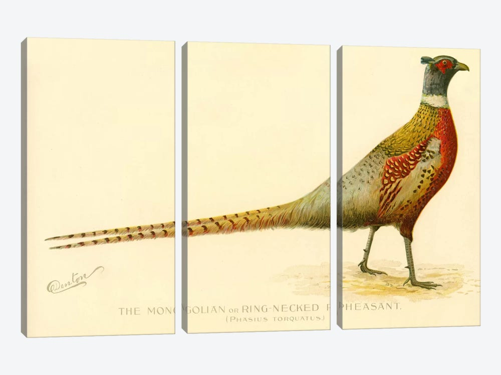 The Mongolian or Ring-Necked Pheasant by Print Collection 3-piece Canvas Artwork