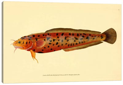 The Natural History of British Fishes - Plate 2 Canvas Print #PCA269