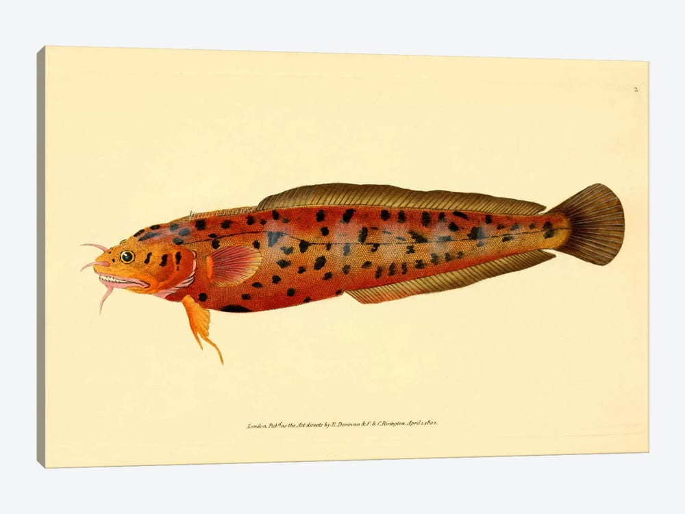 The Natural History of British Fishes - Plate 2 by Print Collection 1-piece Art Print