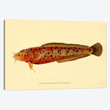 The Natural History of British Fishes - Plate 2 Canvas Print #PCA269} by Print Collection Art Print