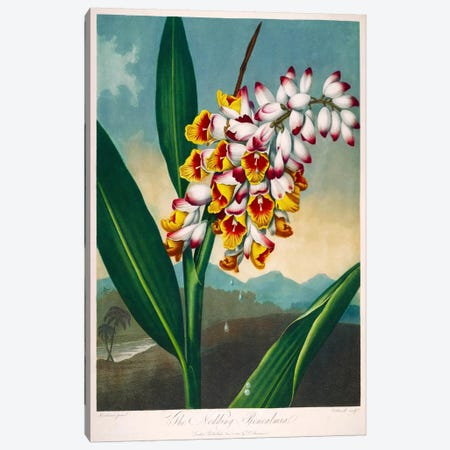 The Nodding Renealmia Canvas Print #PCA270} by Print Collection Canvas Wall Art