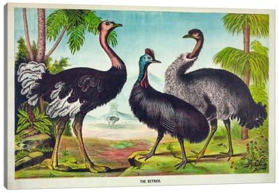 The Ostrich Canvas Art Print