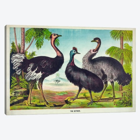 The Ostrich Canvas Print #PCA271} by Print Collection Canvas Artwork