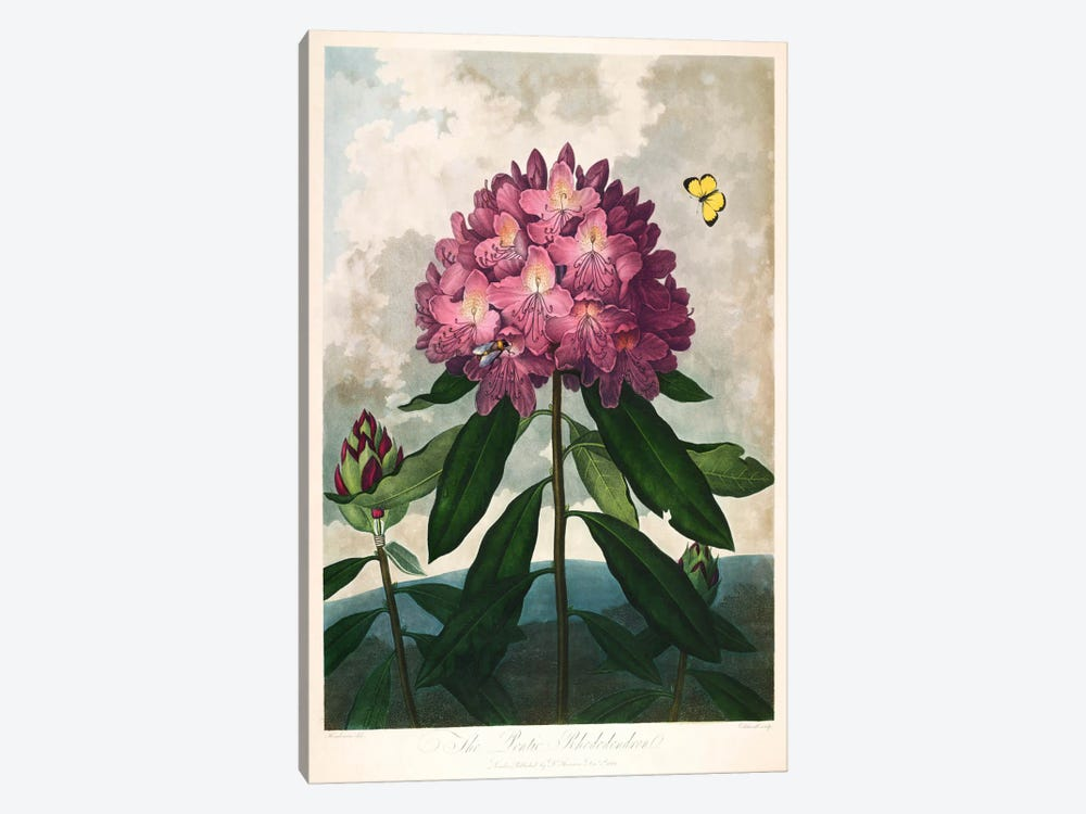 The Pontic Rhododendron by Print Collection 1-piece Art Print