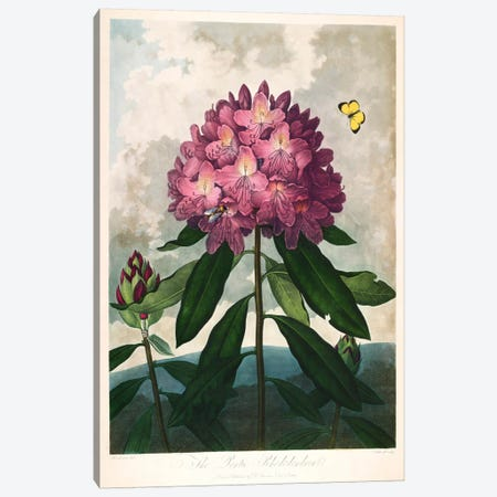 The Pontic Rhododendron Canvas Print #PCA272} by Print Collection Canvas Wall Art