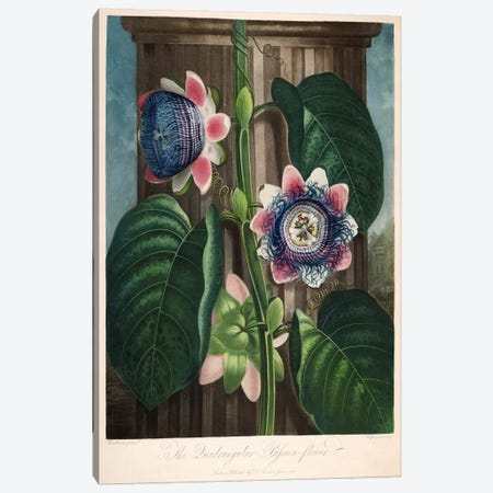 The Quadrangular Passion-Flower Canvas Print #PCA273} by Print Collection Canvas Artwork