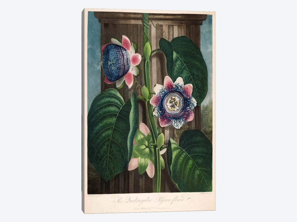 The Quadrangular Passion-Flower by Print Collection 1-piece Canvas Artwork