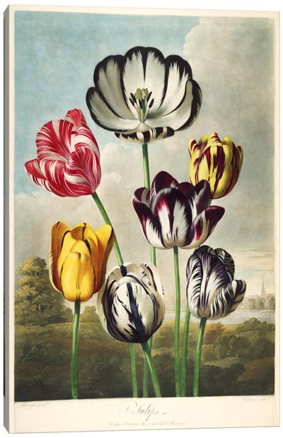 Tulips from the The Temple of Flora Canvas Art Print