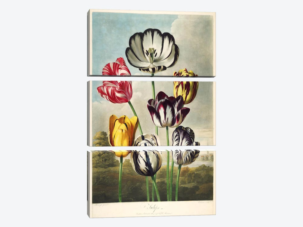 Tulips from the The Temple of Flora by Print Collection 3-piece Canvas Print