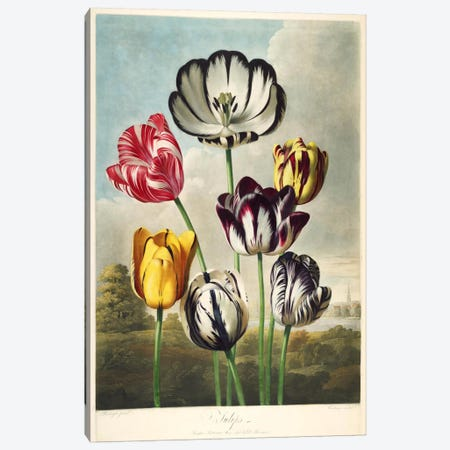 Tulips from the The Temple of Flora Canvas Print #PCA276} by Print Collection Canvas Print