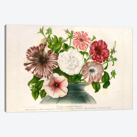 Varietes Nouvelles de Petunias Canvas Print #PCA277} by Print Collection Canvas Print