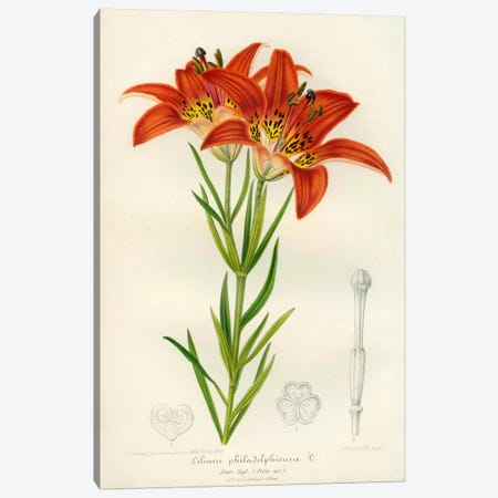 Western Red Lily Canvas Print #PCA278} by Print Collection Canvas Art