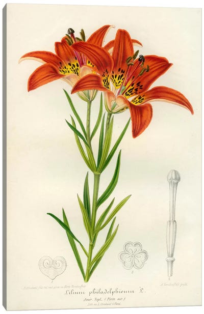 Western Red Lily Canvas Print #PCA278