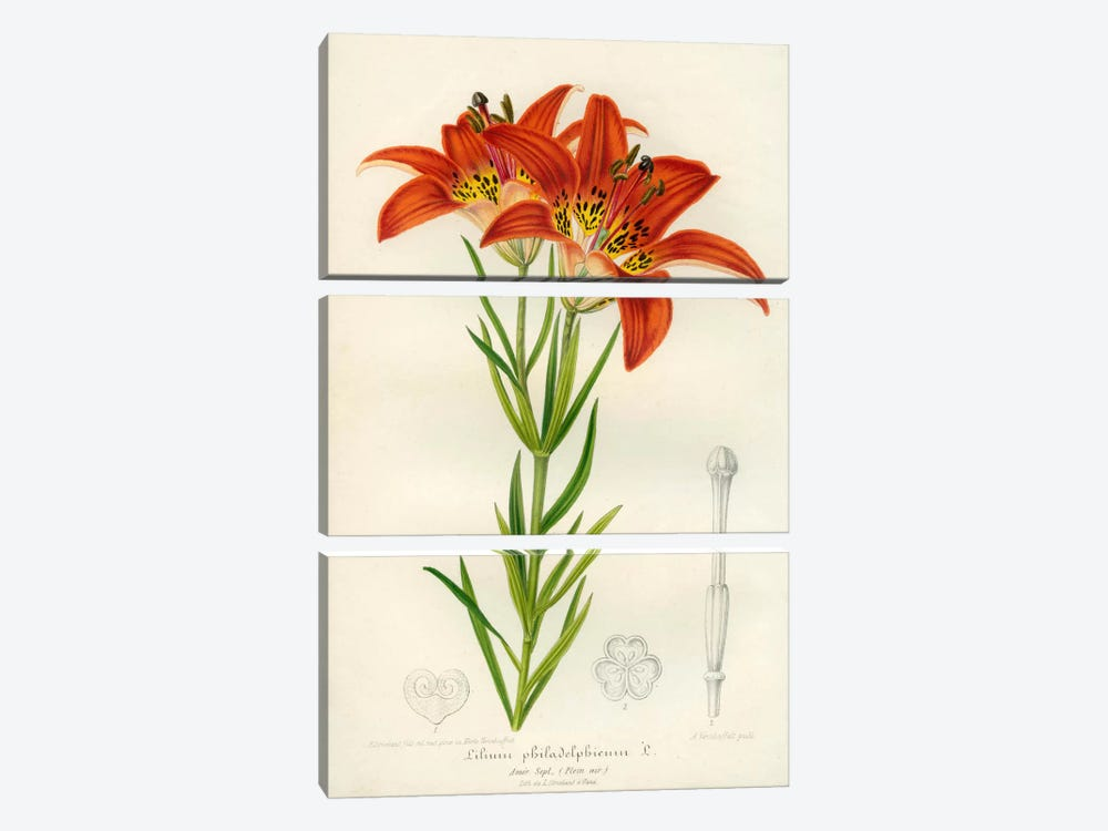 Western Red Lily by Print Collection 3-piece Canvas Print