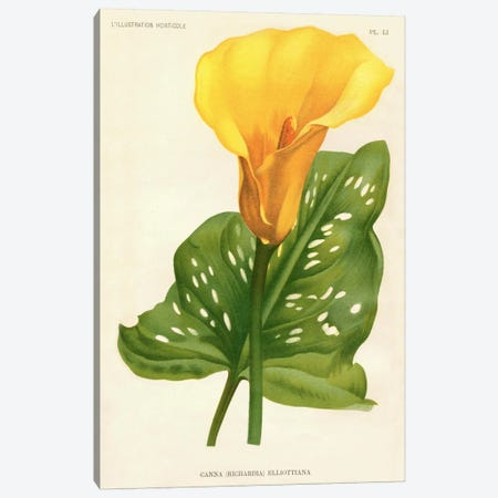 Yellow Canna Lily Canvas Print #PCA279} by Print Collection Canvas Art