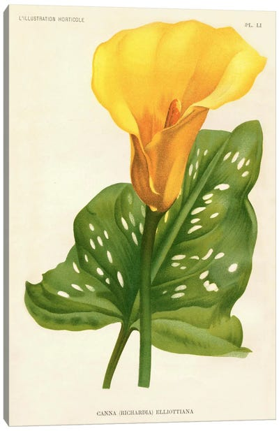 Yellow Canna Lily Canvas Art Print