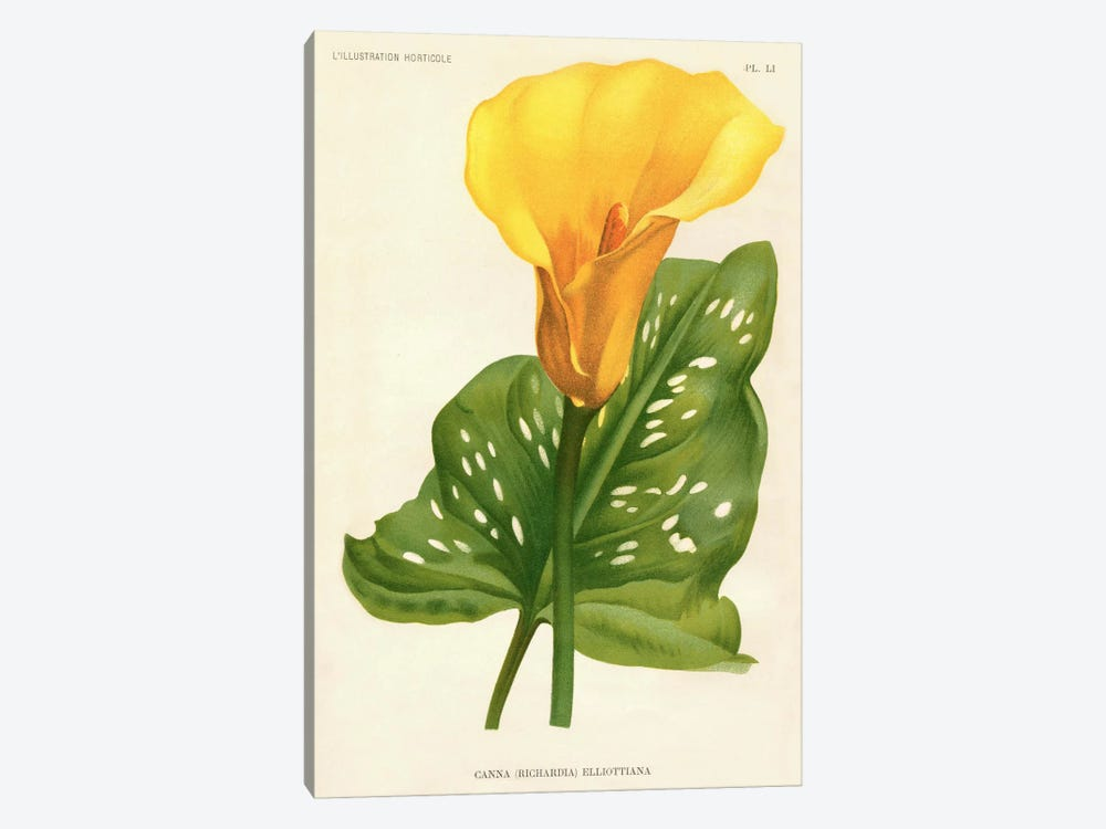 Yellow Canna Lily by Print Collection 1-piece Canvas Art