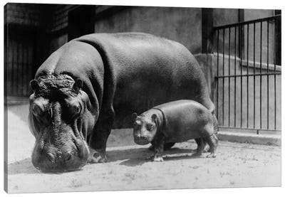 Adult and Baby Hippopotamus Canvas Art Print
