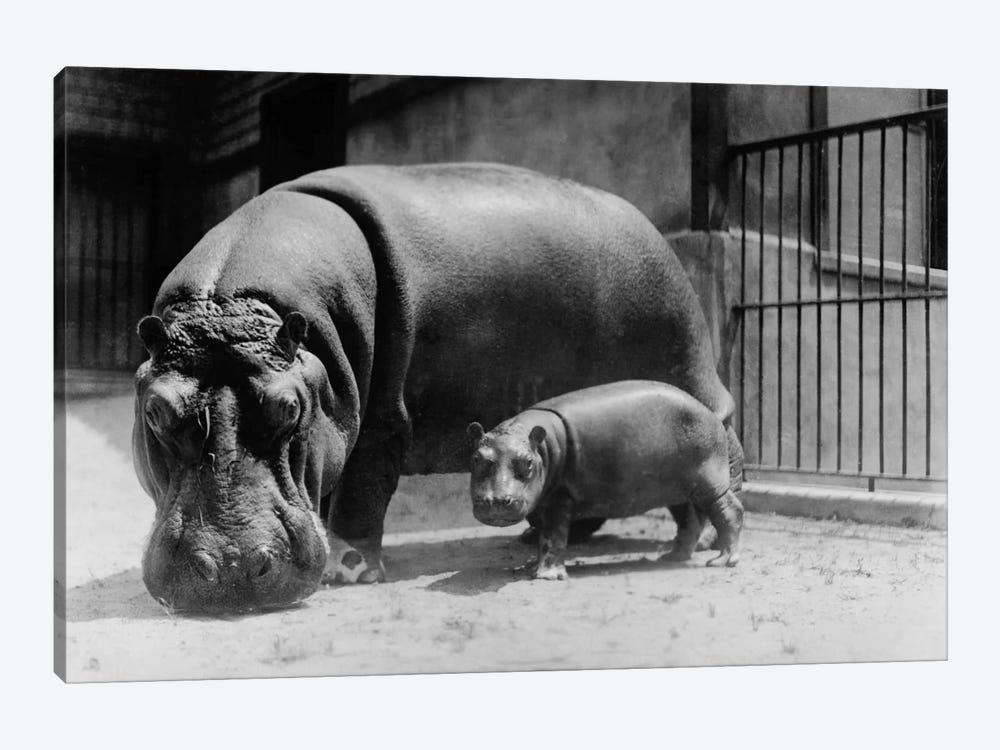 Adult and Baby Hippopotamus by Print Collection 1-piece Art Print