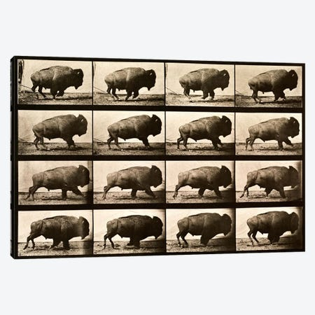 Buffalo Running, Animal Locomotion Plate 700 Canvas Print #PCA459} by Print Collection Canvas Art