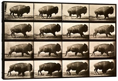 Buffalo Running, Animal Locomotion Plate 700 Canvas Art Print