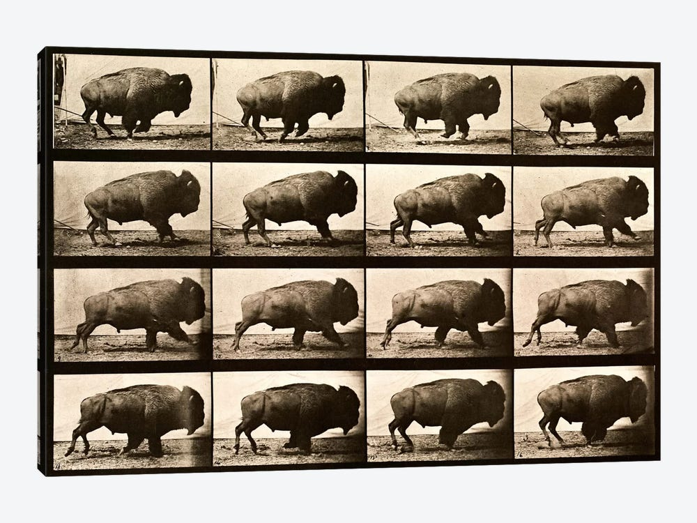 Buffalo Running, Animal Locomotion Plate 700 by Print Collection 1-piece Canvas Artwork