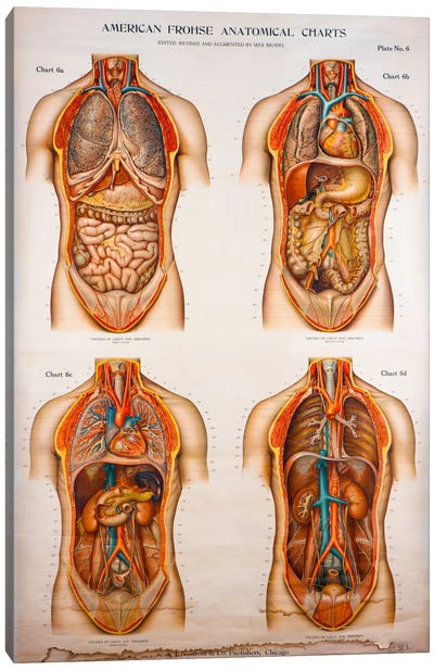 American Frohse Anatomical Wallcharts, Plate 2 Canvas Art Print