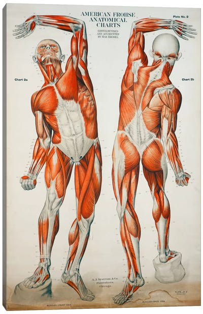 American Frohse Anatomical Wallcharts, Plate #2 Canvas Art Print
