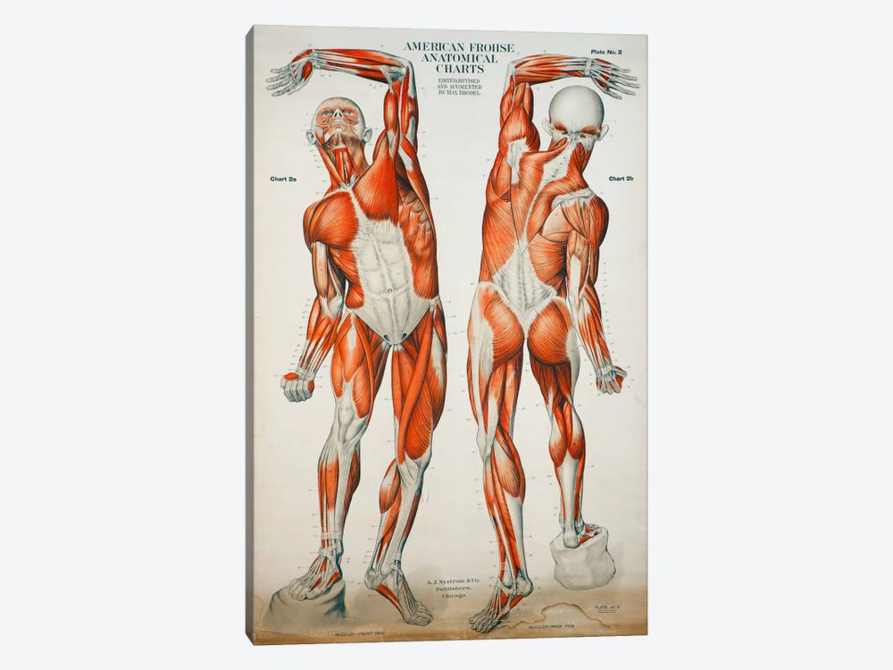 American Frohse Anatomical Wallcharts, Plate #2 by Print Collection 1-piece Art Print