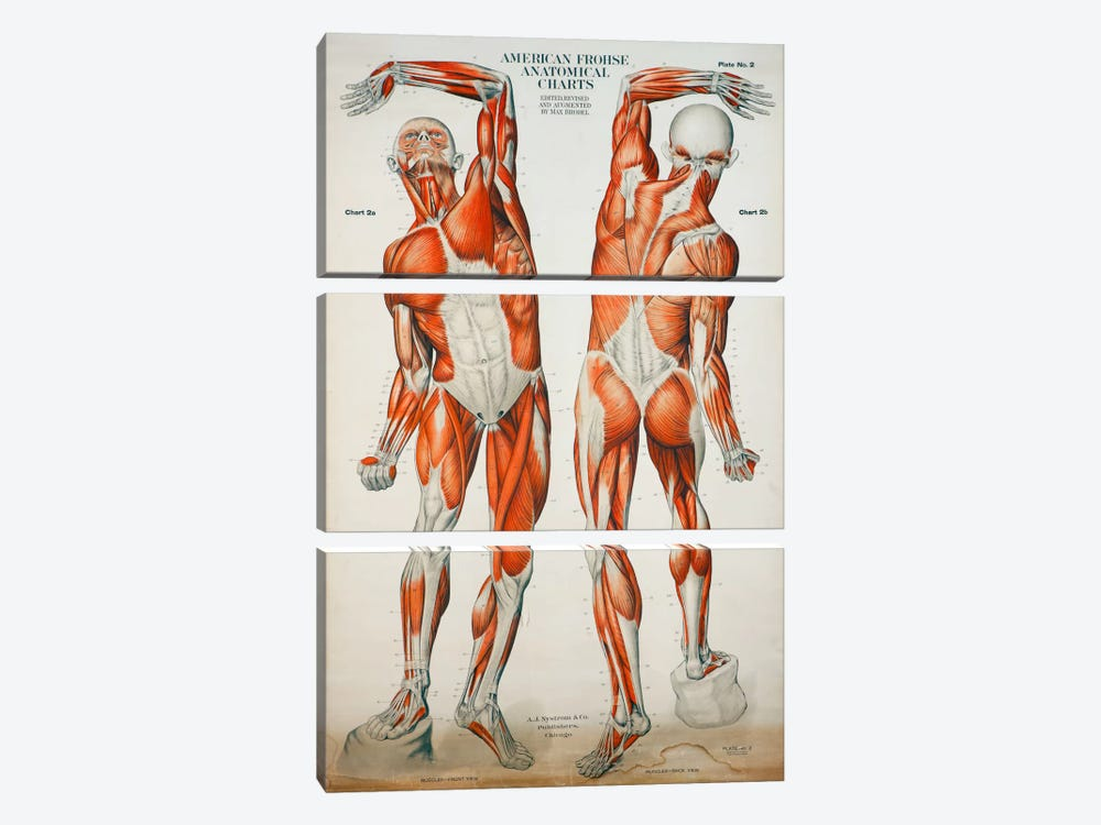 American Frohse Anatomical Wallcharts, Plate #2 by Print Collection 3-piece Canvas Art Print