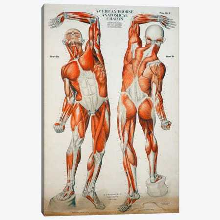 American Frohse Anatomical Wallcharts, Plate #2 Canvas Print #PCA79} by Print Collection Canvas Print