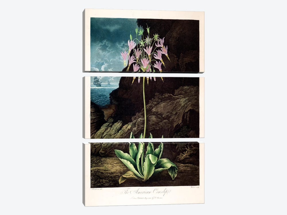 The American Cowslip by Peter Charles Henderson 3-piece Art Print
