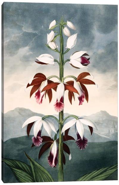 The China Limodoron Canvas Art Print