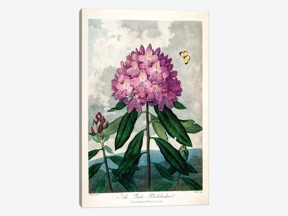 The Pontic Rhododendron by Peter Charles Henderson 1-piece Canvas Artwork