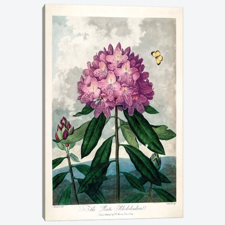 The Pontic Rhododendron Canvas Print #PCH5} by Peter Charles Henderson Canvas Wall Art