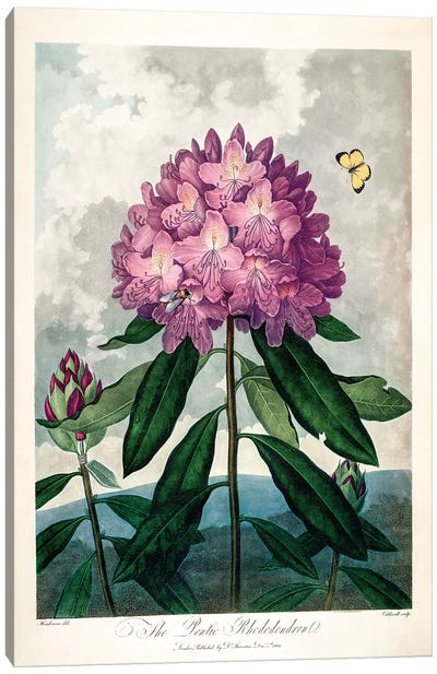 The Pontic Rhododendron Canvas Art Print