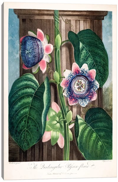 The Quadrangular Passion Flower Canvas Art Print