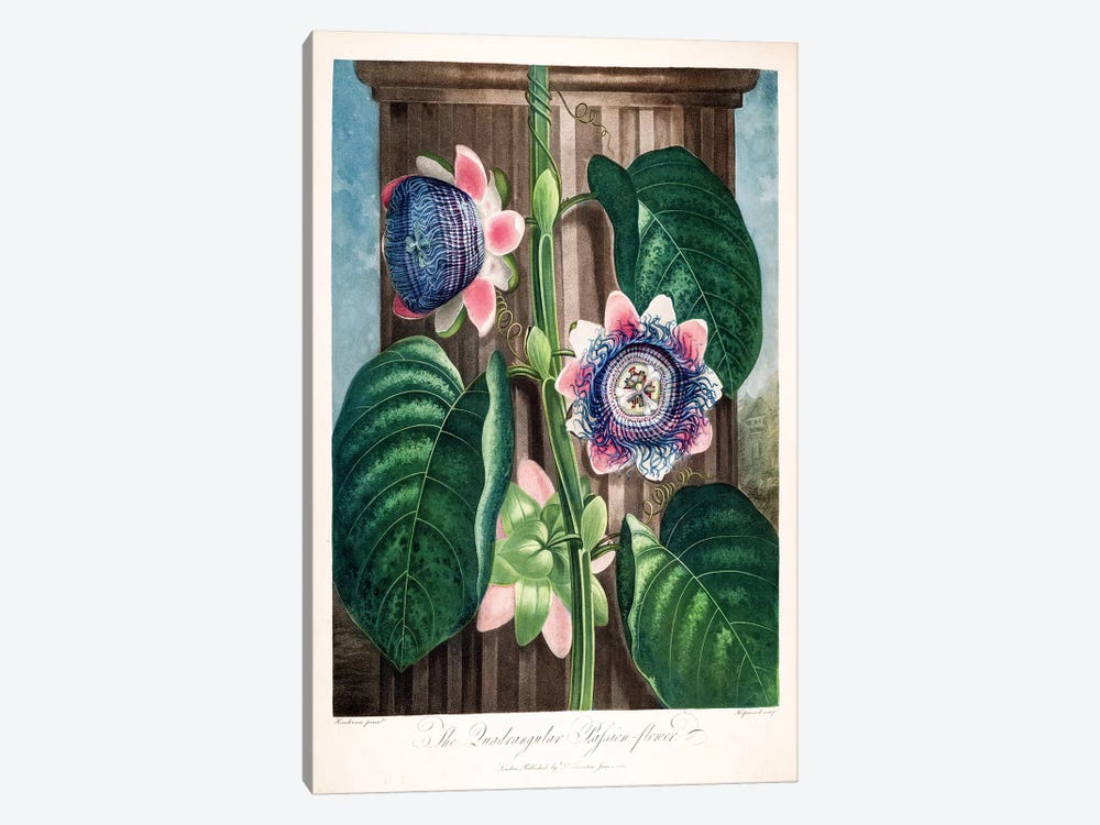 The Quadrangular Passion Flower 1-piece Canvas Art Print